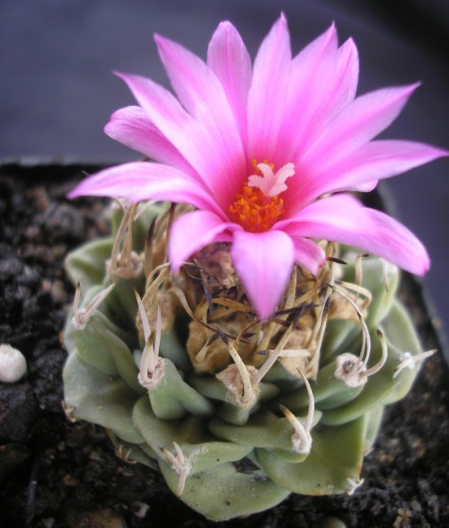 turbinicarpus-alonsoi-glass---arias-1996.jpg